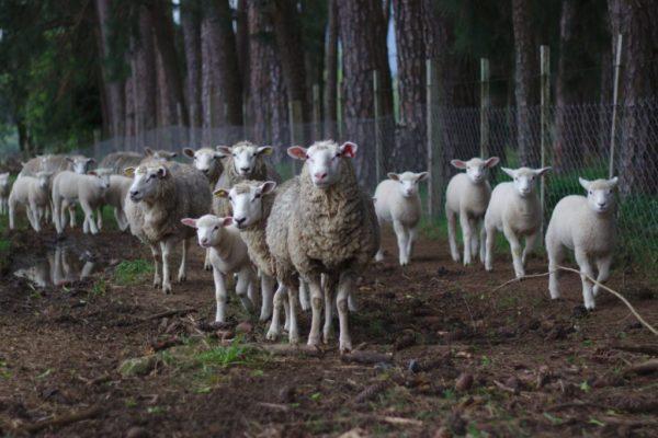 sheep 1246204_1920